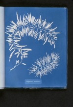 "Spencer Collection, The New York Public Library. ""Sargassum plumosum."" New York Public Library Digital Collections. Accessed February 2, 2016."