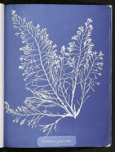 "Spencer Collection, The New York Public Library. ""Cystoseira granulata."" New York Public Library Digital Collections. Accessed February 2, 2016."